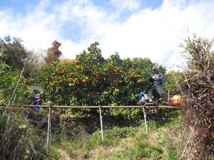 40年經驗的果農藝高人膽大,只靠著一台單軌電動車,一顆顆採收最有名的「溫州蜜柑」。
