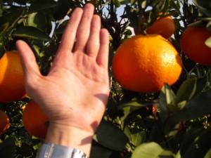 每個幾乎跟手掌一樣大的「伊予柑」,也是愛媛縣特產之一。