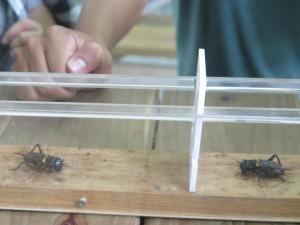 小強!蟋蟀!傻傻分不清楚,是不是真的很像小強,不過想不到吧!這蟋蟀小小一隻,也要唸幼稚園、國小、國中、高中、大學哦!而且要能夠這樣互鬥可是要大學畢業才可以喔!