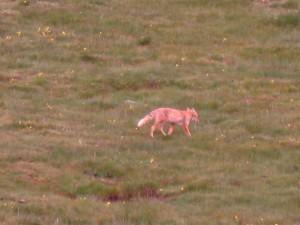 可愛的狐狸